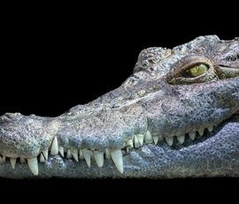 В подвале Петергофа поселился крокодил