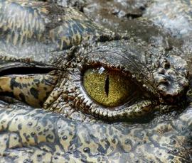 """Крокодилу оформили """"прописку"""" в частном доме Петергофа"""