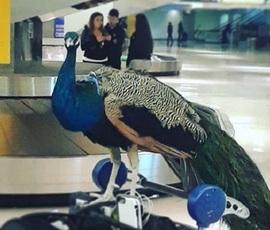 В США павлину не дали посадочный талон на самолет