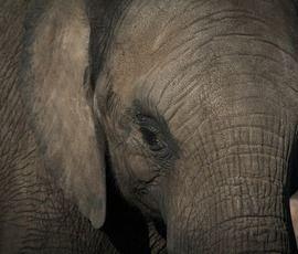 Петербуржцы страдают: почему в Северной столице нет слона