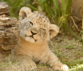 Петербуржцев просят придумать имена новорожденным львятам