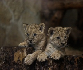 Зоопарк подготовил подарки для петербуржцев, которые придумают имена трем львятам