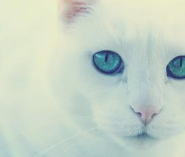 Эрмитажному коту-оракулу Ахиллу придется сесть на диету