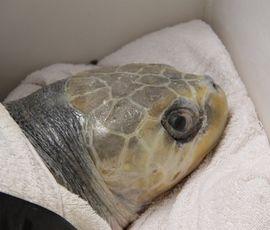 Покалеченную черепаху с Мальдив в Петербурге откармливают креветками