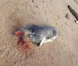 В Госдуме насчитали 50 убитых под Петербургом тюленей