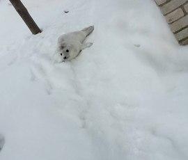 В Петербурге ищут вертолет для тюлененка, застрявшего на границе с Финляндией