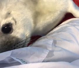 Ради спасения малыша-тюлененка с острова Гогланд нашли вертолет
