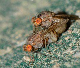 Личинки мясных мух помогли петербургским ученым в разработке нового антибиотика