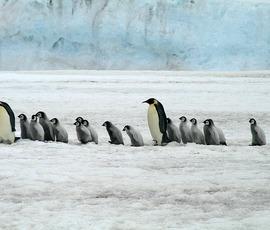 В Антарктиде найдена колония 1,5 млн пингвинов