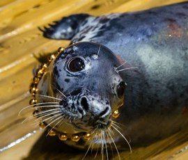 Тюлени ушли в отпуск в петербургском океанариуме