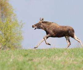 Бесстрашные лоси идут на Петербург