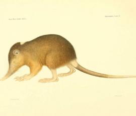 В Петербурге расшифровали ДНК крысы-интраверта времен динозавров