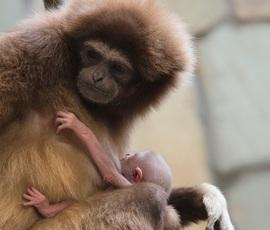 Семейка гиббонов подарила Ленинградскому зоопарку малыша непонятного пола
