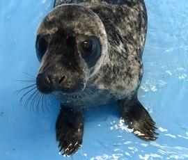 Петербуржцам показали толстеющего тюлененка Гоглика