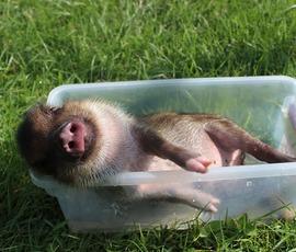 """Стало известно, почему свиньи лучшие доноры, а крысы """"родственники"""" человеку"""