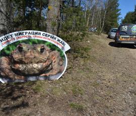 Безжалостные водители давят сестрорецких жаб