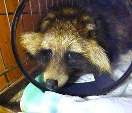 Спасенной от бродячих псов в Ленобласти енотовидной собаке нужна пересадка кожи