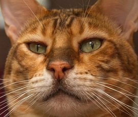 В Петербурге пройдет День эрмитажного кота