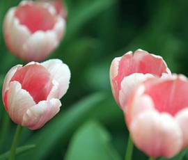 Из-за жары на Елагином острове распустились 160 тысяч тюльпанов