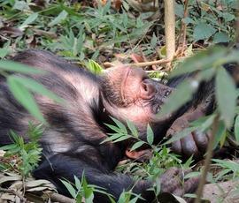 Ученые рассказали, чем постели людей отличаются от гнезд шимпанзе