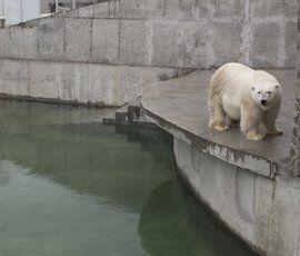 В Ленинградском зоопарке белая медведица Услада отпраздновала новоселье