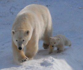 Вместе с бабушкой Усладой в Ленинградском зоопарке поселится Снежинка