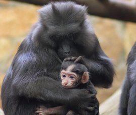 Уже третий детеныш редчайшей черной макаки родился в Ленинградском зоопарке