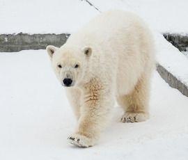 Медведица Снежинка поселилась в петербургском зоопарке