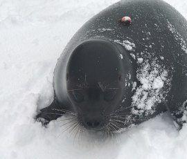 Нерпенок Крошик в восторге от снега