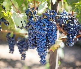 Крым получил 200 млн рублей на развитие виноградников