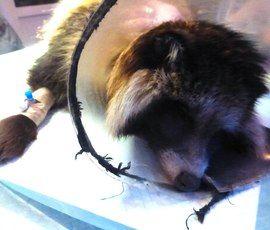 Едва не растерзанный собаками енотовидный Паша пережил операцию
