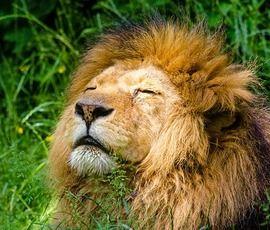 Датские зоопарки просят приносить домашних питомцев на корм львам