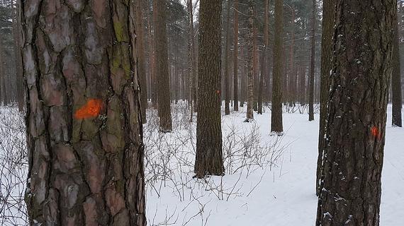 Красные метки на деревьях в Сосновке напугали петербуржцев