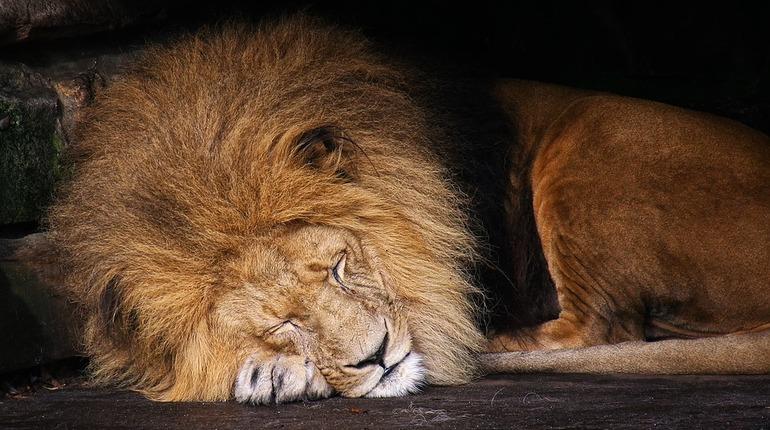Житель Омска подселил в пустующую комнату двух львов