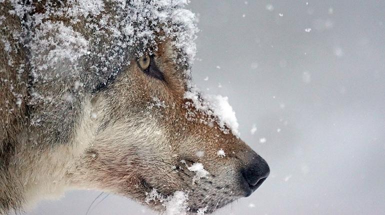 В Петербурге заметили волка. Голодного хищника, по словам очевидцев, заметили на территории автозаправочной станции, расположенной на Софийской улице.