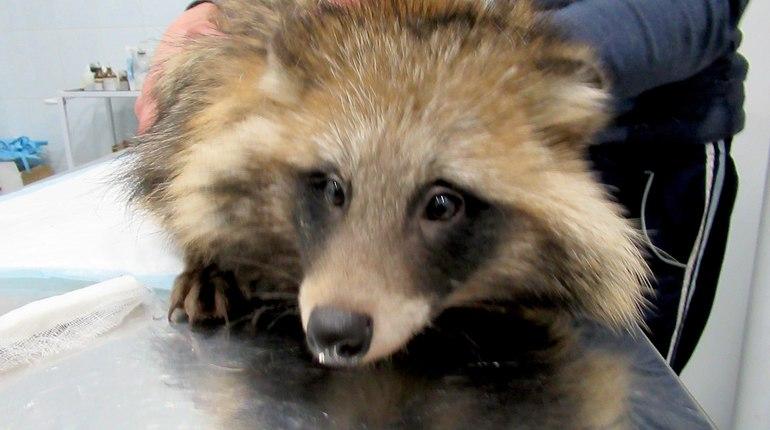 Спасенный от собак енотовидный Паша ждет встречи с родственниками