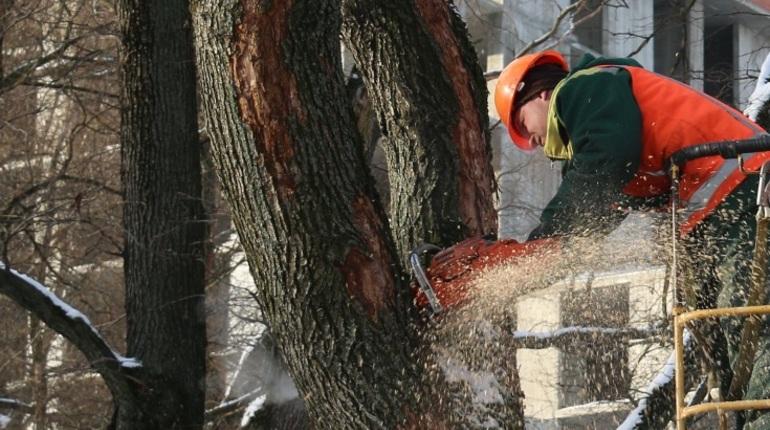 В Петербурге рабочие с бензопилами сносят вязы в Никольском саду. Безжалостно пилят 10 деревьев. В пресс-службе комитета по благоустройству успокаивают – работы законны. Порубочный билет был выдан 23 января.