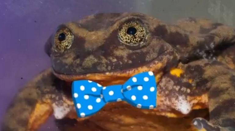 Зоологи в Боливии ищут пару «сексуальной» лягушке на сайте знакомств