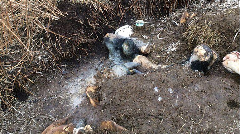 Скотомогильники подстерегают неосторожных петербуржцев