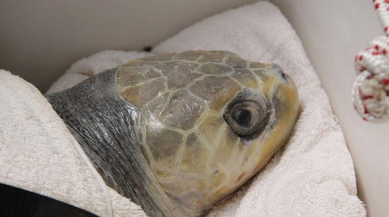 Прилетевшая с Мальдив черепаха-инвалид будет жить в петербургском океанариуме