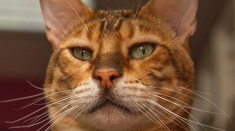 Хвостатый Поль Сезанн стал президентом Республики кошек
