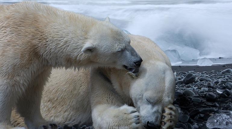 Загрязнение Арктики делает пенисы белых медведей хрупкими