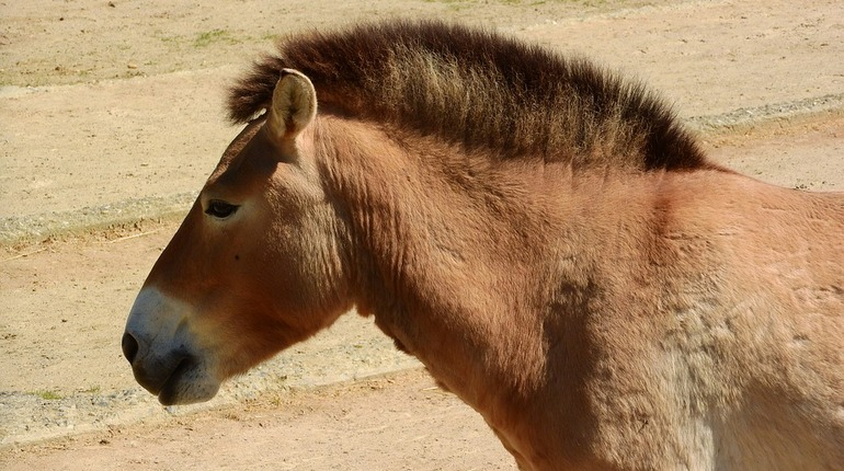 Петербургские ученые открыли тайну лошади Пржевальского