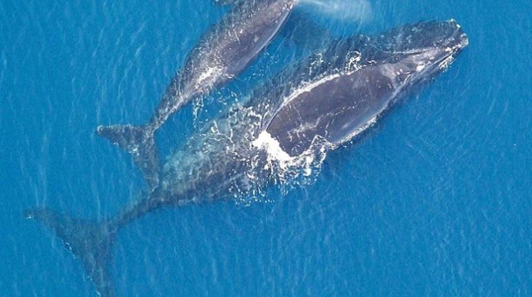 Вымирающий гладкий кит перестал размножаться