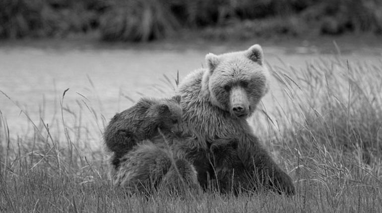 Из-за охоты медвежата начали дольше оставаться сродителями