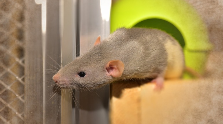Корейские ученые создали мышей-киборгов