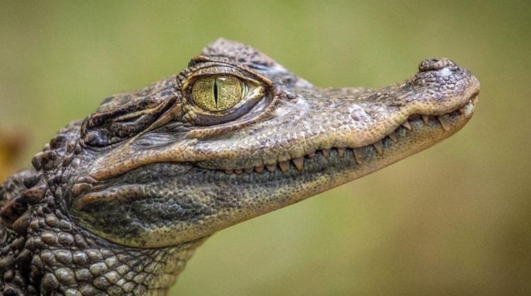 В Петербурге перестали покупать крокодилов