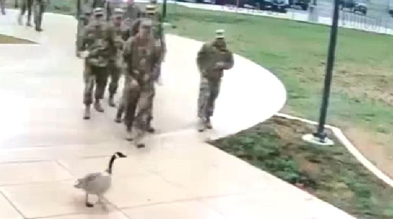 Агрессивный гусь «довел» американских военных