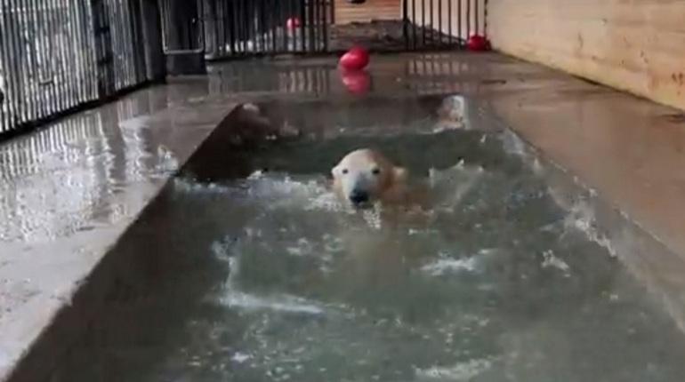 Белые медведи подразнили петербуржцев, открыв купальный сезон
