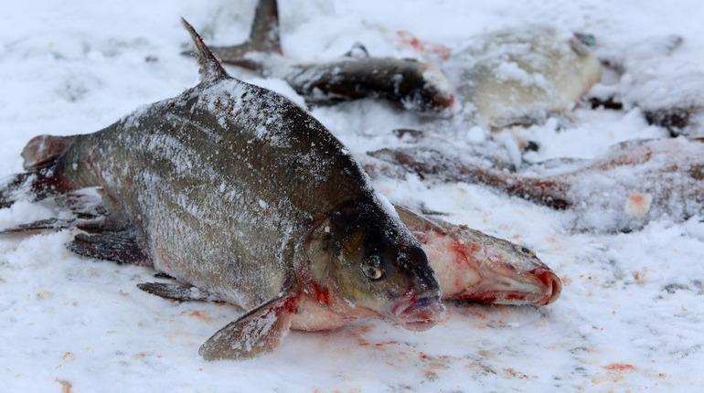 Петербуржцев предупредили обуголовной ответственности завесеннюю ловлю рыбы